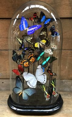 Big old bell jar with colorful mix of many butterfly species. - 090 Taxidermy, Hunting trophies, antlers etc. - De Jong Interieur