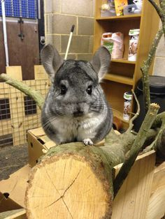Charlie the chinchilla is looking cute and proud on his huge log.