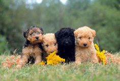 Lakeland Terriers - My dog resembles the dog on the far right!