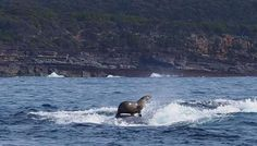 Seal Riding on the Back of a Whale Photo Goes Viral