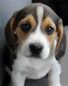 Are you interested in a Beagle? Well, the Beagle is one of the few popular dogs that will adapt much faster to any home. Baby Animals Super Cute, Cute Little Animals, Little Dogs, Cute Dogs And Puppies, Baby Dogs, Doggies, Beautiful Dogs, Animals Beautiful, Cute Beagles