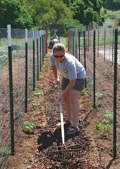 Building addtional tomato trellis fence, melons will go in to the left of tomatoes.