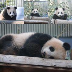 シャンシャンはお嬢ちゃん Cute Animal Quotes, Cute Animal Videos, Cute Animal Pictures, Fuzzy Wuzzy, Panda Love, Cute Baby Animals, Dogs And Puppies, Grizzly Bears, Pets