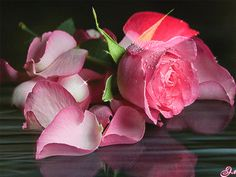 Animated Pink Rose flowers rose bouquet pink rose for you flowers for friend animated flowers flower graphics Pink Rose Bouquet, Pink Rose Flower, Blossom Flower, Pink Roses, Beautiful Red Roses, Amazing Flowers, Gif Animated Images, Flowers Gif, Rosa Rose
