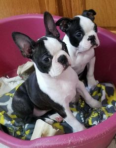 Things we respect about the Small Boston Terrier Puppies Boston Terrier Temperament, Brindle Boston Terrier, Red Boston Terriers, Boston Terrier Love, Boston Terrior, Terrier Breeds, Terrier Puppies, Pitbull Terrier, Dog Breeds