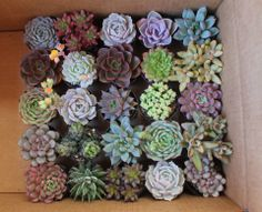 "Assorted potted 2.5"" succulents getting ready for new homes. http://thesucculentsource.com/"