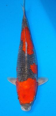 Koi carp the most expensive koi fish ever sold koi carp for Expensive koi fish