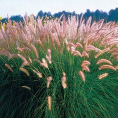 Rose Fountain Grass has silvery-rose plumes that sway atop slender, arching leaves that bloom all summer long. This showy ornamental has slender, 2-foot leaves and silvery-rose flower plumes borne from July through September. This rare grass provides many years of graceful garden beauty.
