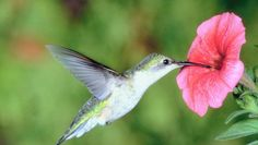 Hummingbirds prefer blooms of reds, pink, orange, purple and yellows. Ex: salvia, trumpet creeper, coral honeysuckle, bee balm, butterfly bush and Turk's cap. Daisies and black-eye Susans not only produce seeds the birds will like, but the added benefit is that butterflies will like them also. bunch grasses for birds.