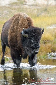 American Bison (Bison bison) crossing river, Yellowstone National Park, Wyoming,