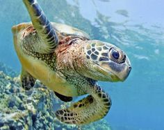 sea turtles on reef | green sea turtle | Tumblr