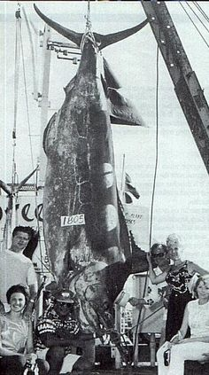 "The largest marlin ever caught was a 1,805-pound (818-kilogram) fish caught off the coast of Hawaii in 1970. Known as ""Choy's Monster"" after the man, Cornelius Choy, who caught it, the fight lasted for hours until it was finally reeled in. The fish initially weighed in at over 2,000 pounds, but was found to have a 155-pound yellowfin tuna in its belly."