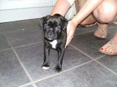 Black Jug Dog Puppy