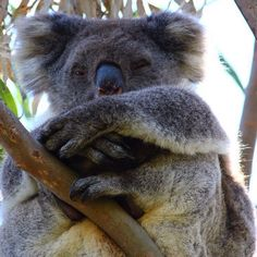 Finally got to see a wild koala whilst on the Great Ocean Road  #koala #travel #australia #greatoceanroad by amma_time
