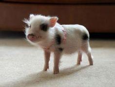 Petit cochon tout mignon
