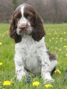 English Springer Spaniel births at the English springers breeding of Cookies and Cream You are in the right place about Welsh Springer Spaniel, Chiots Springer Spaniel, Chien Springer, Springer Spaniel Puppies, English Springer Spaniel, Spaniel Breeds, Dog Breeds, Schnauzer, Dog Yard
