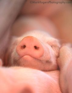 Content Little Piggy