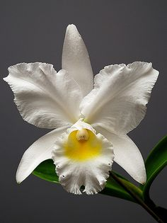 Orchid: Cattleya 'Angel Bells Suzie' AM/AOS. Growers:Betty & Lenny Jones - Flickr - Photo Sharing!
