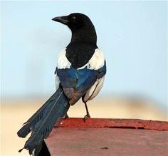 Magpie Animals Beginning With M, Love Birds, Beautiful Birds, Pie Bavarde, Flightless Bird, Jackdaw, Crows Ravens, Green Man, Bird Species