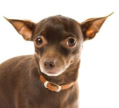 english toy terrier - Google Search