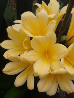 Clivia is a genus of herbaceous, evergreen flowering plants, and they are one of the few types of low light plants which produce flowers. Unusual Flowers, Beautiful Flowers Garden, Different Flowers, Amazing Flowers, Pretty Flowers, Yellow Flowers, Amaryllis, Low Light Plants, Indoor Flowers