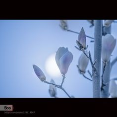 曙 - Pinned by Mak Khalaf Nature  by KiyoshiIida