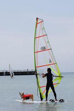 WindSurfing with Corgi! | Flickr - Photo Sharing! by funfun_328 #corgi