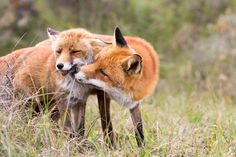 Fox Kisses - Two foxes in love