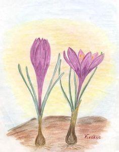 Waldorf ~ 5th grade ~ Botany ~ Crocus ~ main lesson book