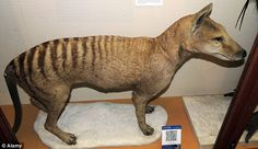 Left out in the cold to die : The Tasmania Tiger extinct as a ...