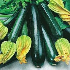 Summer Squash Black Beauty Zucchini Certified Organic Heirloom Seeds 25 Seeds by Botanical Interests. $1.95. Pick young and you will be rewarded with creamy white flesh and a delicate taste.. Cucubita pepo. Wait until your soil warms up before planting.. Although this squash matures at 6 inches if allowed to grow the sky is the limit.. These zucchini grow on a compact bush vine 2 feet tall.. The difference between summer squash and winter squash is the skin. Winter ha...