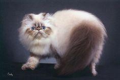 Siamese Cat - Google Search