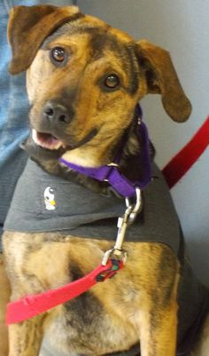 Razzle  Breed:  Shepherd/hound mix  Estimated Date of Birth: 2/2011  Weight: 39 pounds  Gender:  female -- ADOPTED!!