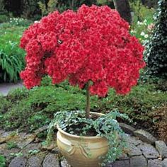 I wish my azalea's were this full! Love it as a small tree in a planter,