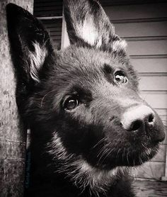 German shepherd dogs fill our hearts with love, and our homes with laughter (and hair...). What is your favorite thing about your dog?