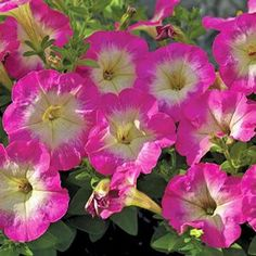 Buy Petunia Bravo Sky Blue Annual Plants Online. Garden Crossings Online  Garden Center Offers A Large Selection Of Petunia Plants. Shop Our Online U2026