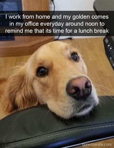 I Work From Home And My Golden Comes In My Office Everyday Around Noon To Remind Me That Its Time For A Lunch Break