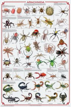 """Arachnids differ from insects as they have eight legs. Insects have six.  The title provides a comprehensive overview of the entire class / clade, which includes mites and ticks, spiders, scorpions and other critters. Each group is introduced by informative text. An abundance of outstanding illustration show representative species. Laminated, 24"""" x 36""""."""