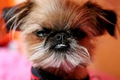 The next Brussels I get will look like this and I will name him Chewbacca.