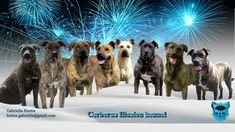 Cimarron uruguayo is a multi functional working breed. Cerberus, Dog Training, Illusions, Dog Lovers, Puppies, Photo And Video, Pets, Animals, Champion
