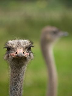 17 Excellent Ostrich Pictures