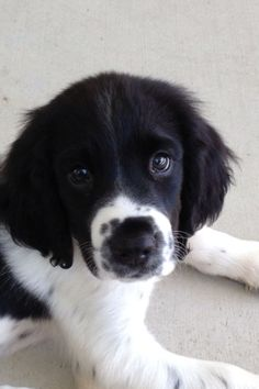 Are you looking for Springer Spaniel dog names? Here is a collection of funny and cute Springer Spaniel male/female dog name ideas. Cute Dogs And Puppies, I Love Dogs, Doggies, Pomeranian Puppy, Bulldog Puppies, Beautiful Dogs, Animals Beautiful, Baby Animals, Cute Animals