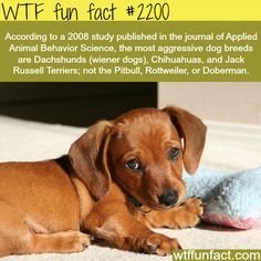 According to a 2008 study published in journal of Applied Animal behavior Science the most aggressive dog breeds are Dachshunds (wiener dogs) Chihuahuas and Jack Russell Terriers not the Pitbull Rottweiler or Doberman. Aggressive Dog Breeds, Cute Animals, Funny Animals, Wtf Fun Facts, Random Facts, Fun Facts About Dogs, Crazy Facts, Random Stuff, Animal Facts
