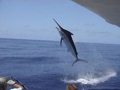 A young man from Florida told me this morning that a marlin could never jump as high as a Sailfish... this is my rebuttal (brad fergus on the leader circa 2008) #throwback #cairns #giants #blackmarlin #marlinfishing #leader #jump #sportfishing #gamefishing #charterfishing #topshot #australia #instafish #picoftheday #fish #fishing #bass #action #bundy #bundyrum #greatbarrierreef #marlin #fish #fishing #airborne by viciouscyclefishing http://ift.tt/1UokkV2