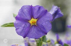#solanum_rantonnetii #flower_beauty