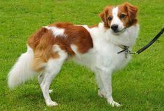 Kromforlander Akc Google Search Dog Breeds Dogs Every Dog Breed