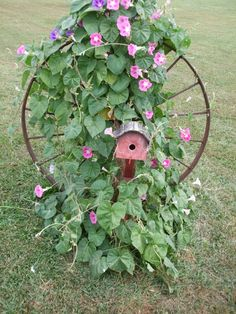 Morning glory growing on old wheel as a trellis
