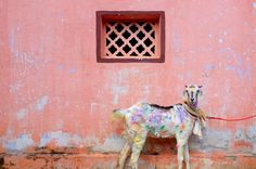 #goatvet likes this photo of a goat paint-splashed at the Pongal Festival in India