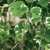 Purple Plants, Annual Plants, Herbs, Herb, Medicinal Plants