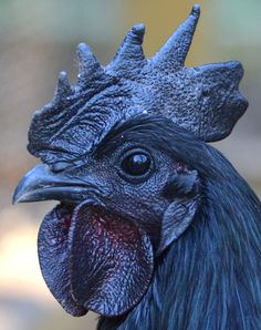 Ayam Cemani chickens! Black. Inside and out and lay black eggs.  | Greenfire Farms